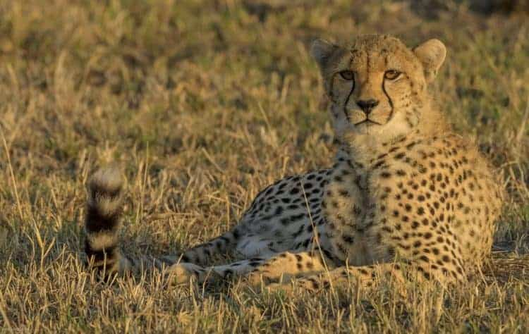 Serengeti Cheetah and Giraffe Interaction