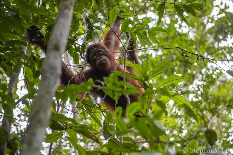Halting Deforestation and Protecting Orangutans in Indonesia