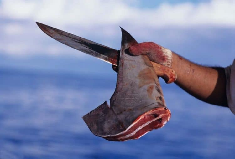 POLL: Should there be a worldwide ban on the shark fin trade?