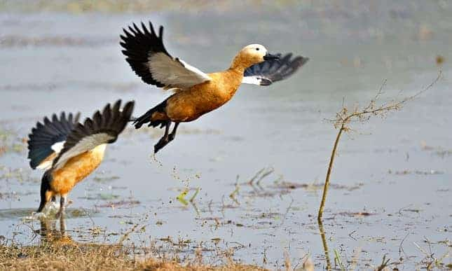 Plucky duck: highest-flying fowl's Himalayan exploits revealed