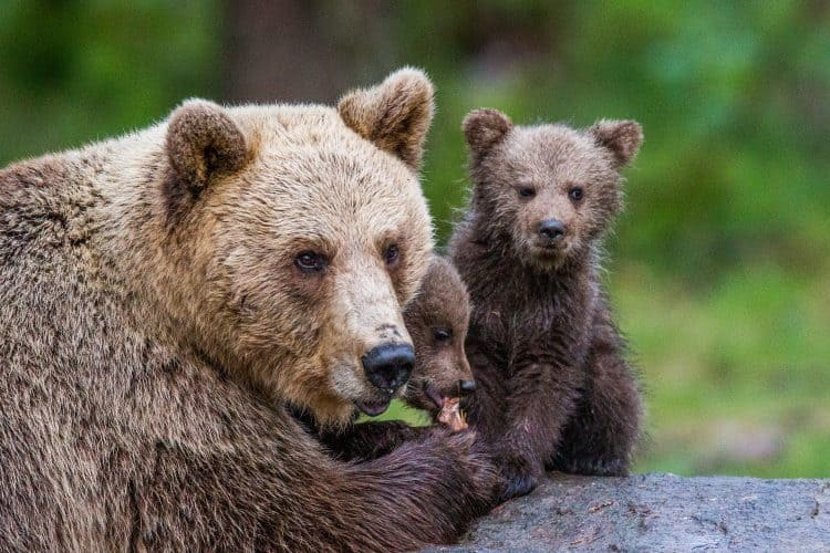 Petition: Ban Hunters From Killing Hibernating Bears and Cubs!