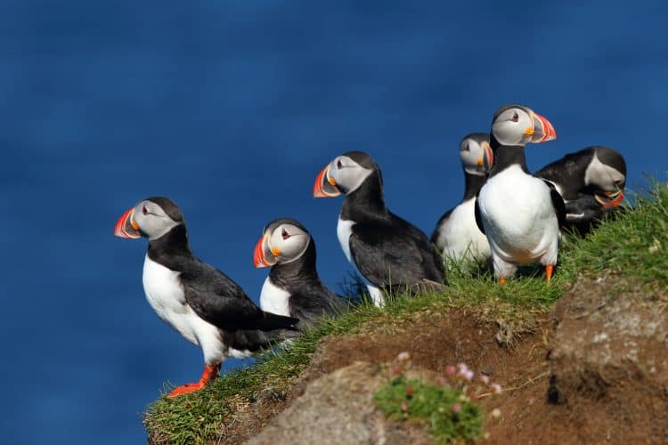 Petition: Stop Organized Puffin Hunting in Iceland