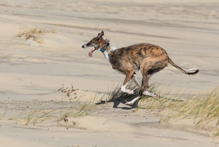 Petition: End Hare Coursing in Spain Which Kills Up To 100,000 Dogs a Year!