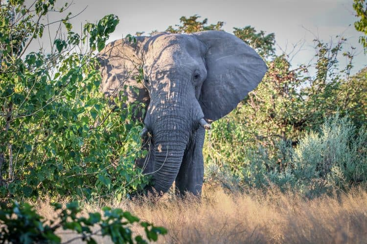 Petition: Urge Botswana to Restore Protection for Elephants From Poaching!