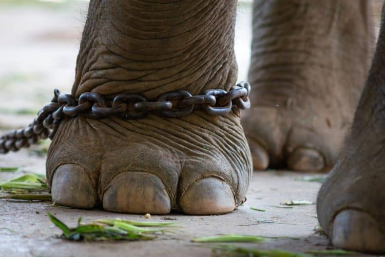 Petition: Help Young Elephant Chained and Wounded Following Tourist Riding Incident