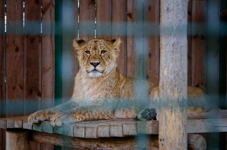 Petition: Support the Big Cat Public Safety Act to End Big Cat Ownership!