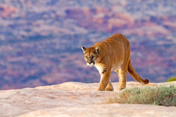 Petition: End Cougar Hunting in Utah!