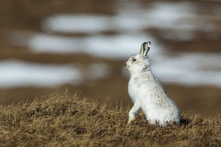 Stop the Mass Killing of Mountain Hares in Scotland!