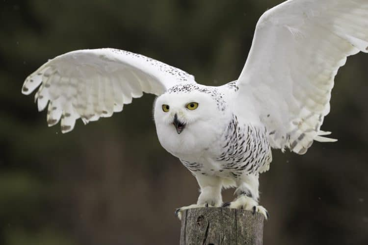 Two Men Burned A White Owl Alive Because They Believed It Was a Witch