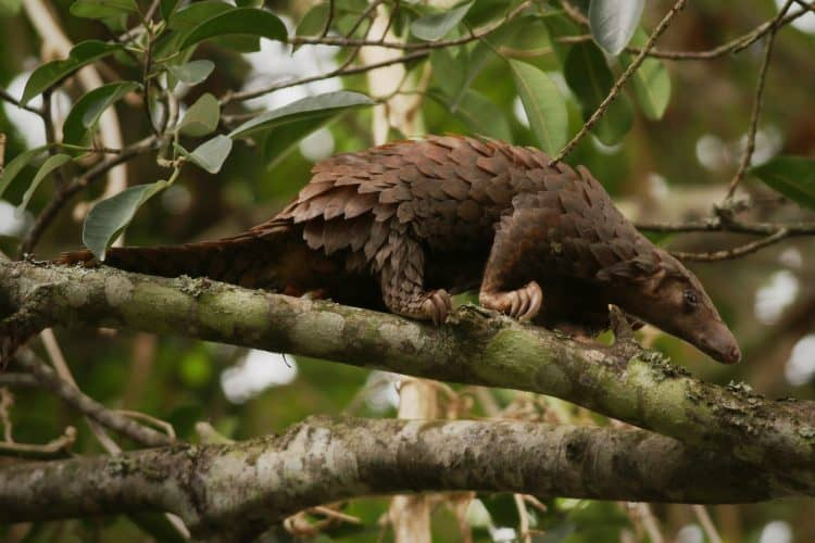 Petition: Save the Highly Trafficked, Critically Endangered Pangolins!