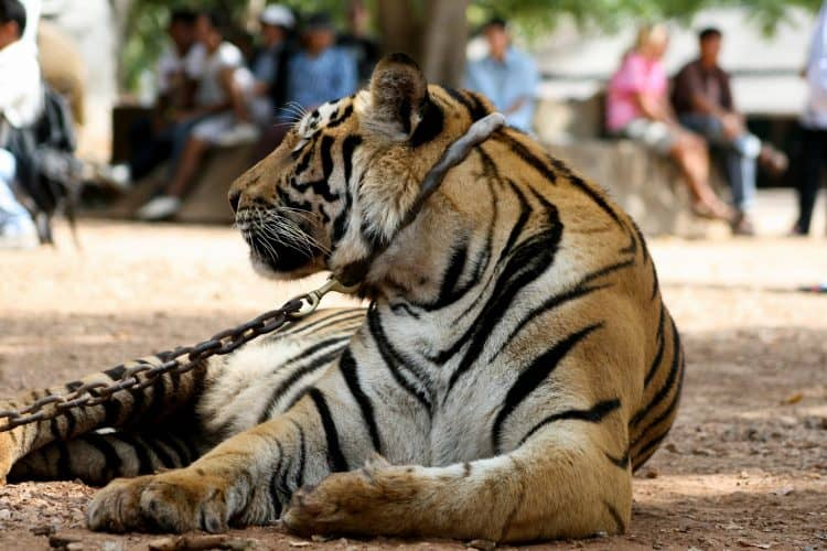 Petition: Stop Using Tigers as Photo Props!