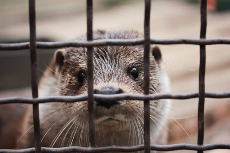 Petition: Ban Wild Animal Cafés Where Otters, Raccoons, and More are Held Captive!