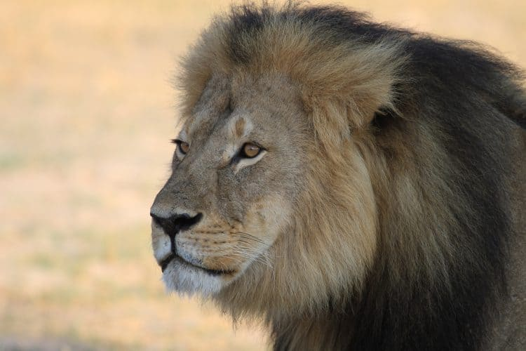 New Law Named After Cecil The Lion Could Place Prohibitions on Trophy Hunting in the US