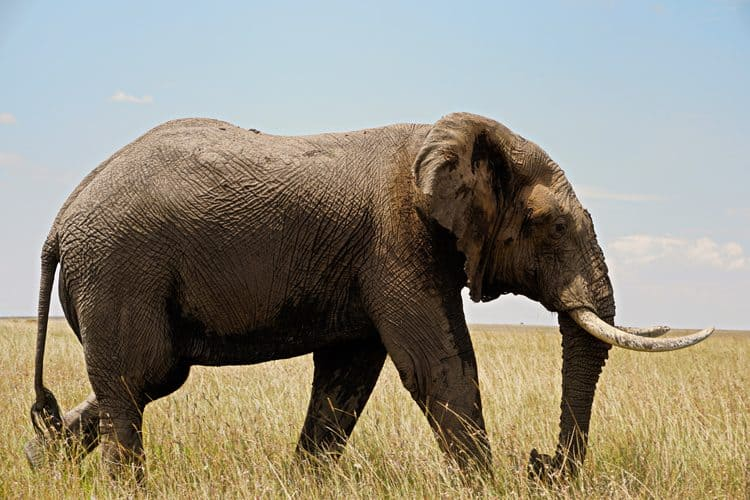 End of Japan's Ivory Trade in Sight Following Ban by the Last Major Site!