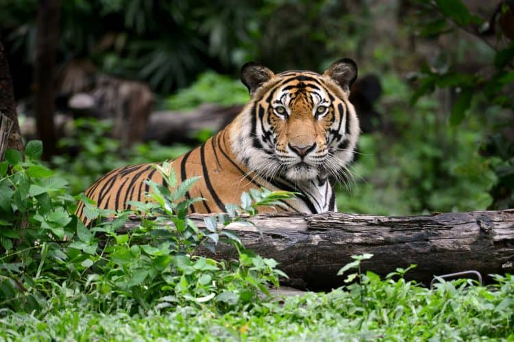 Petition: Protect Other Indian Tigers After Angry Mob Kills a Tiger!