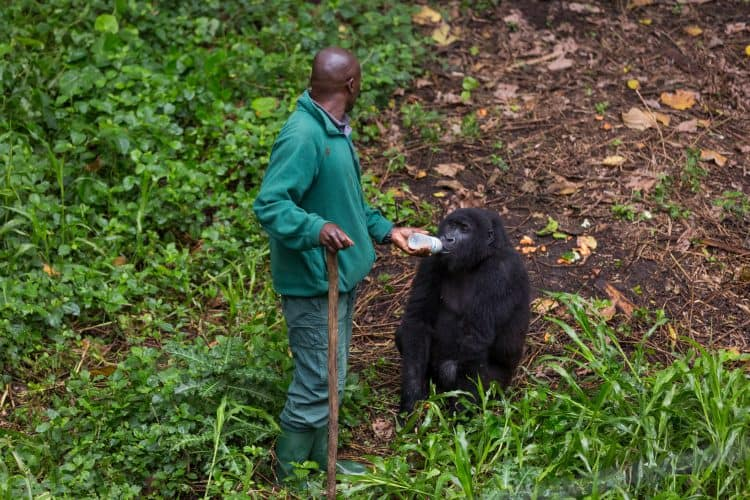 Petition: Increase Protections for Gorillas and Rangers at Virunga National Park!