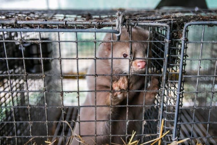 Ireland Will Ban Fur Farms, Saving Thousands of Minks!
