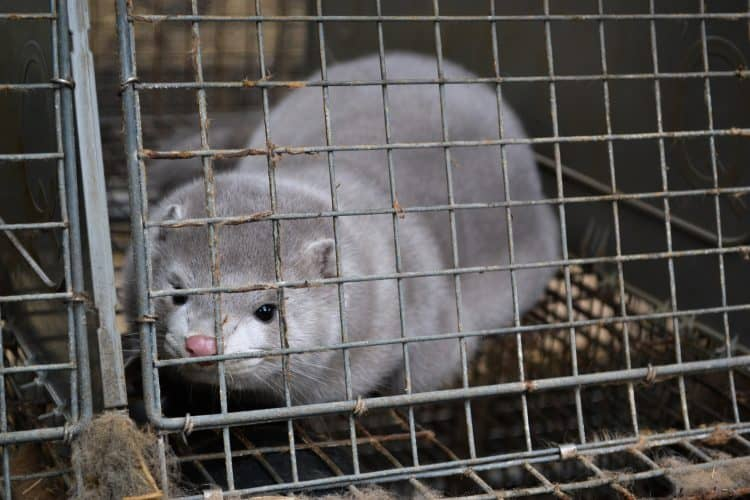 Bill to Ban the Sale of Fur Passes the California Senate!