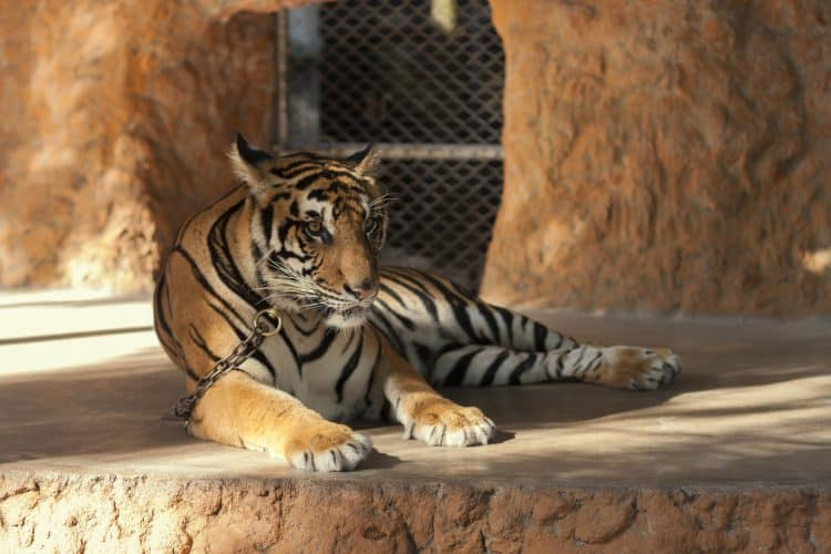Petition: Free Chained Tiger at Phuket Zoo!