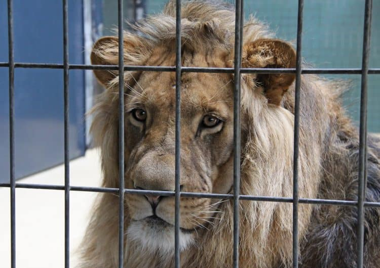 Petition: Protect South African Lions From Deplorable Conditions of Bone Trade!