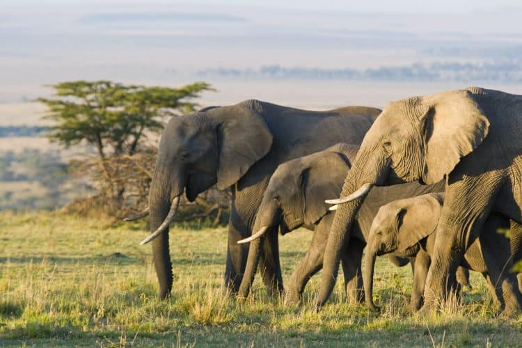 Petition: Keep Ban on Ivory Trade and Protect African Elephants!