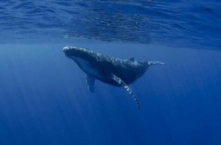 Petition: Ban Plastic Bags to Protect Endangered Whales!
