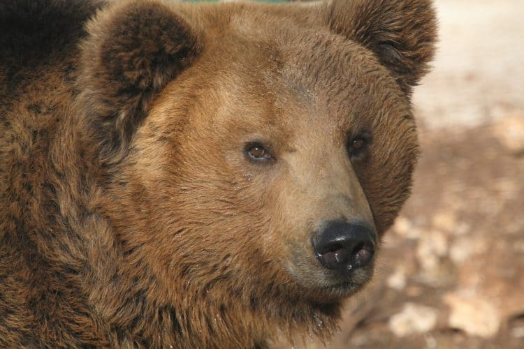 Petition: Protect Houdini the Bear Sentenced to Death by Authorities