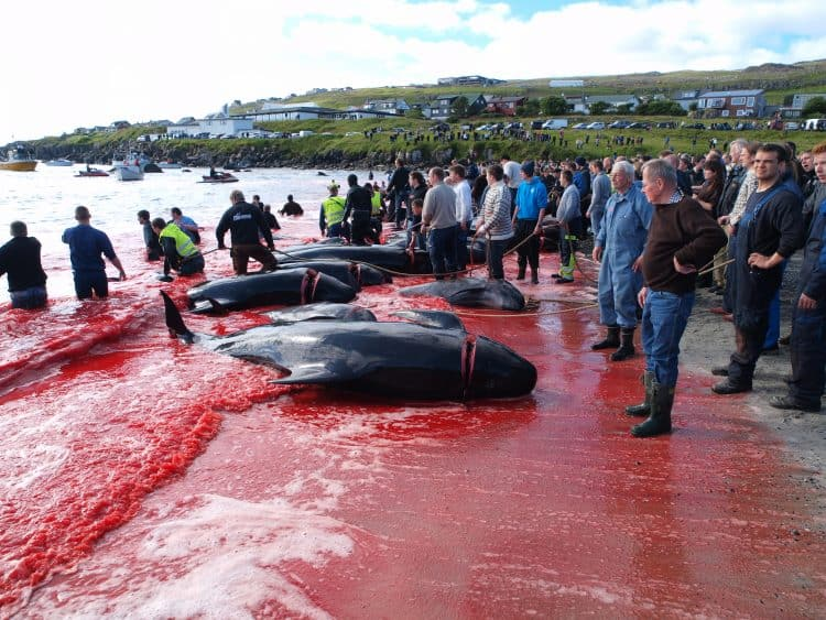 The Other Side of the Faroe Islands: Beautiful Islands, Barbaric Whale Hunts