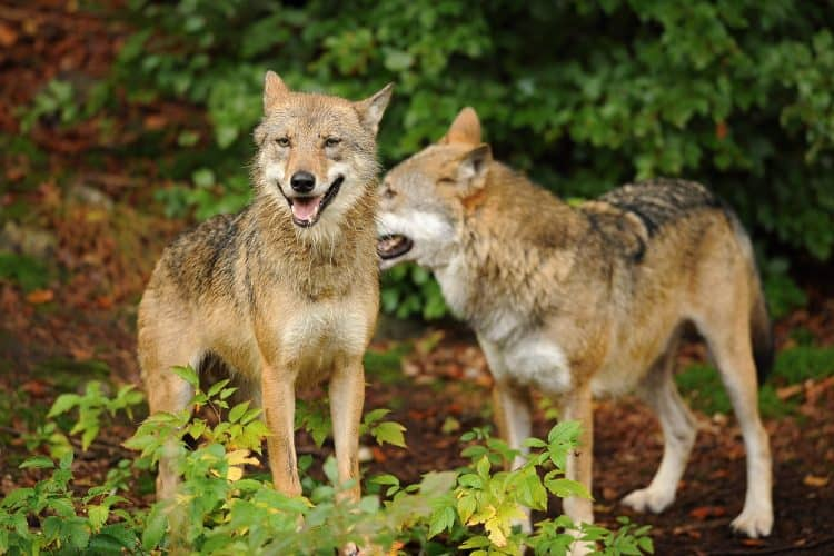 Petition: Keep Gray Wolves Protected Under the Endangered Species Act