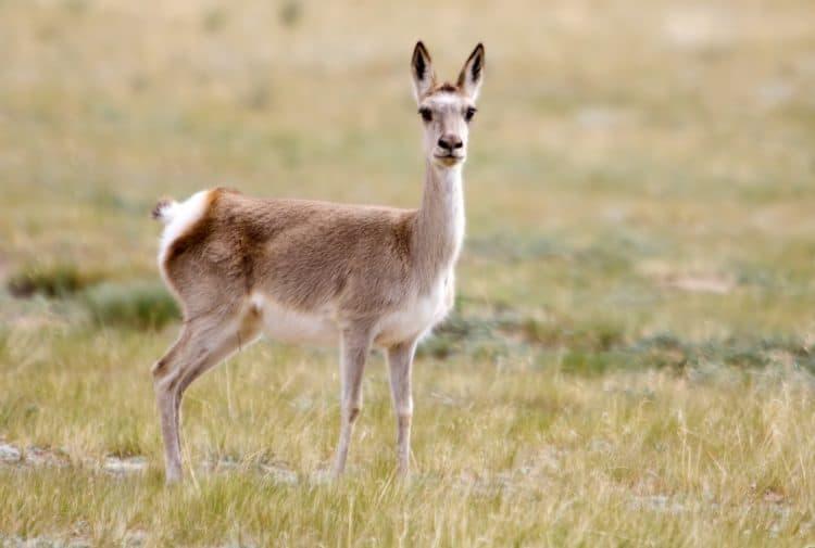 Rare Tibetan Antelopes Are Killed to Make Expensive Luxury Scarves