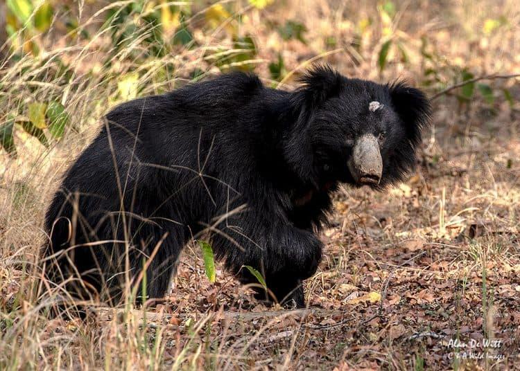 Sloth Bear in Satpura NP
