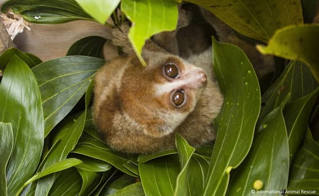 POLL: Should the illegal wildlife trade in slow lorises be stopped?