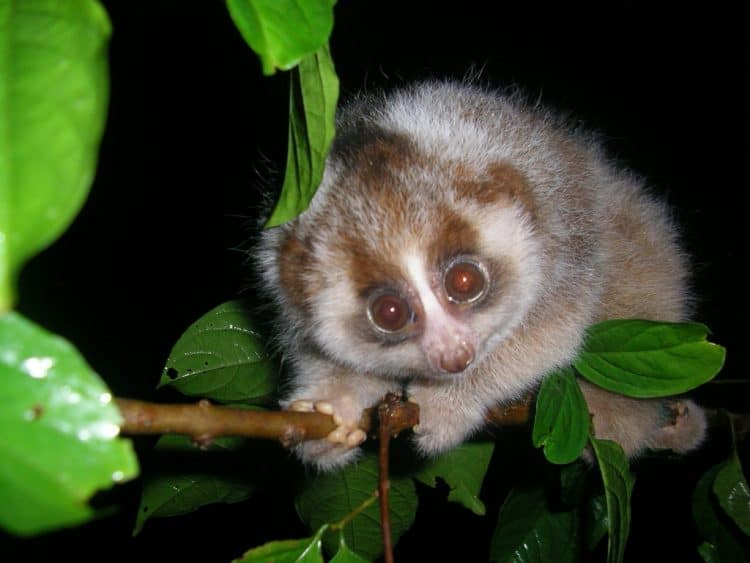 POLL: Should the international trade in slow lorises be stopped?