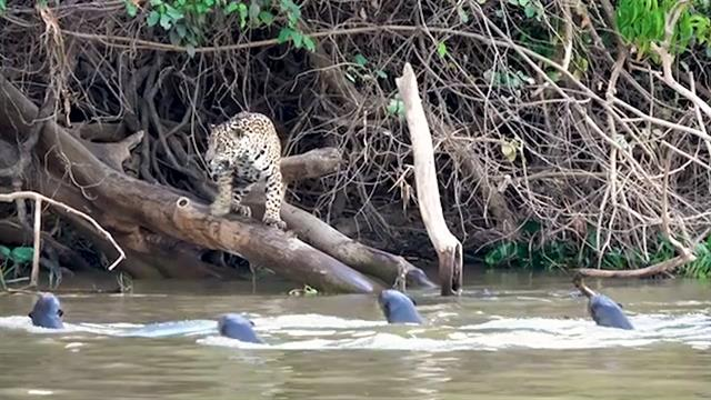 Video: Two Hungry Jaguars Are No Match for This Plucky Otter
