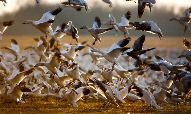 Exhausted snow geese head to wildlife facility to rest up for migration