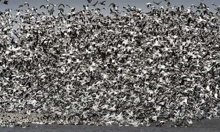 Thousands of snow geese die in Montana after landing on contaminated water