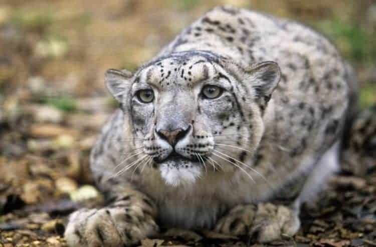 Global leaders head critical summit to save the snow leopard and its habitat