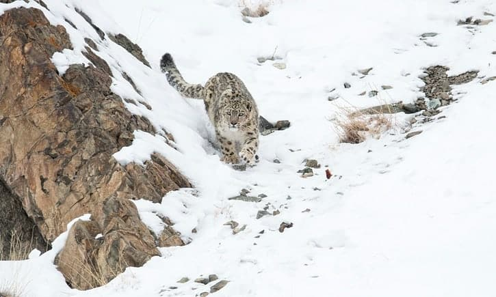 The Indian village learning to live in harmony with snow leopards