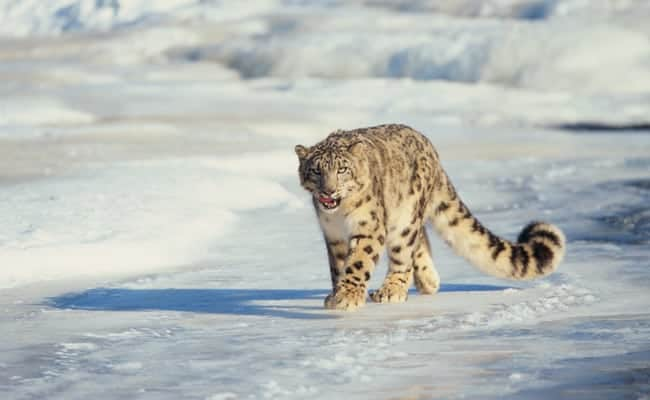 Snow Leopards Are No Longer Endangered, But They're Also Not Safe