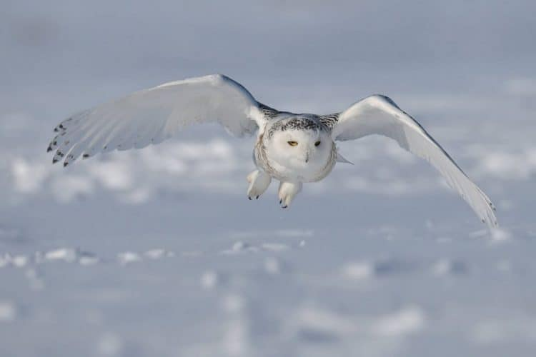 Snowy Owl faces frosty future: classed as Vulnerable for the first time