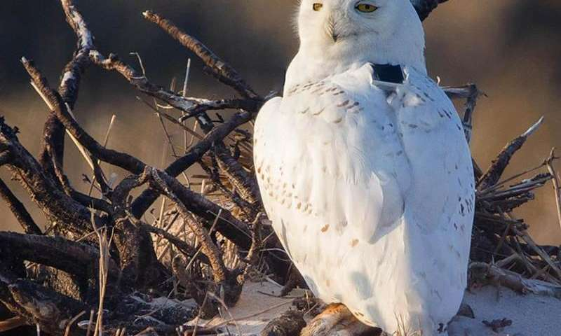 Snowy owl's far-flung travels tracked in incredible detail