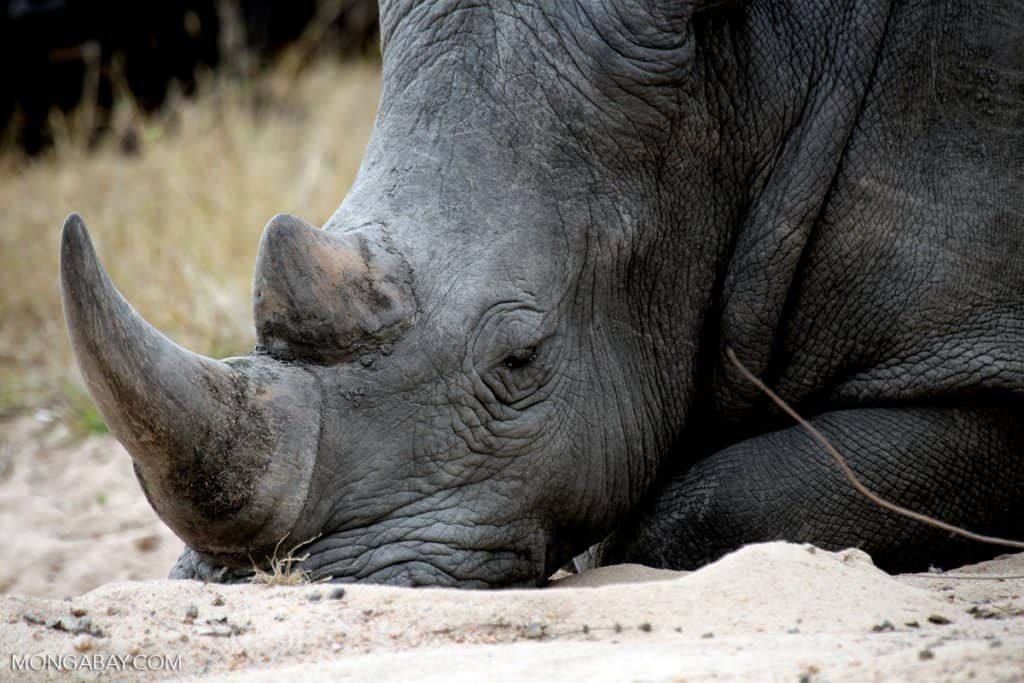 POLL: Should the sale of rhino horns be legalized?