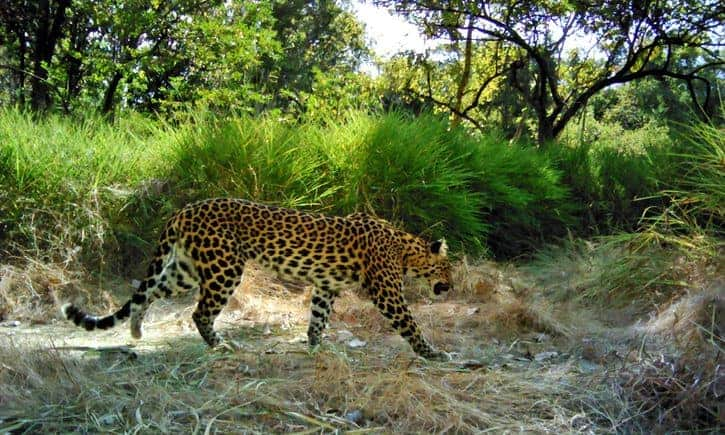 Another big predator in Southeast Asia faces extinction