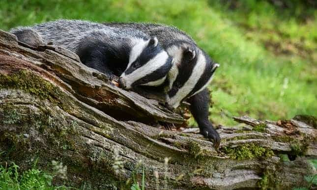 Huge increase in badger culling will see up to 33,500 animals shot