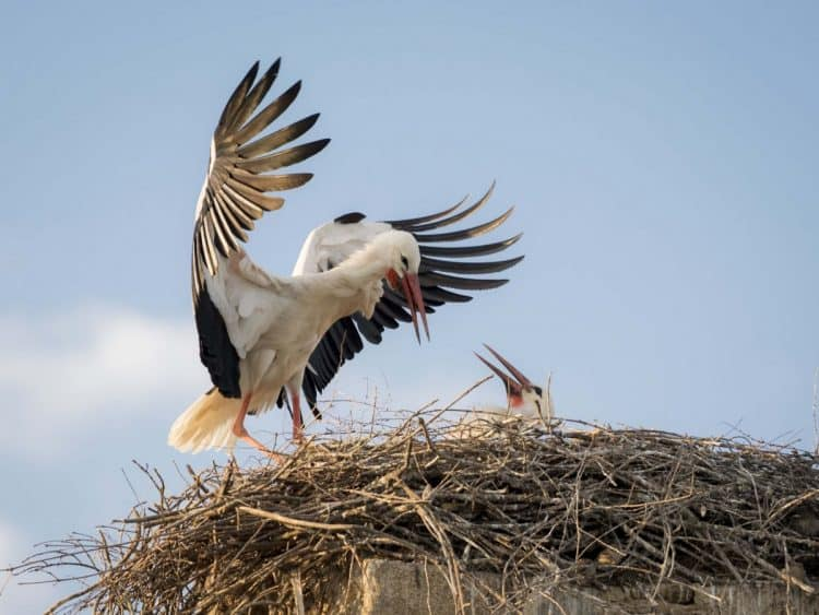 Beloved Storks, Emblems of Fertility, Rebounding in France