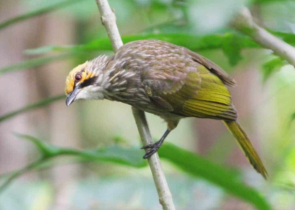 The tiny corner of Asia where an Endangered songbird is thriving