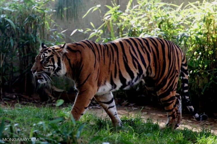 A tiger refuge in Sumatra gets a reprieve from road building