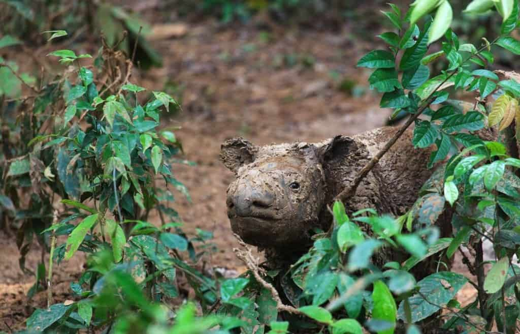 Can Anything Save the Sumatran Rhino From Extinction?