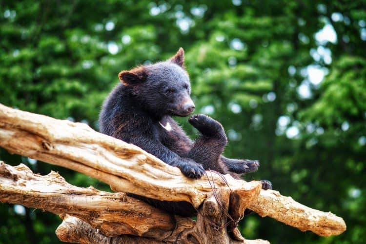 Exposed: Illegal Bear Bile Trafficking Network in Asia
