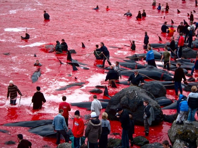 POLL: Should Japan be sanctioned for continuing the bloody slaughter of dolphins?